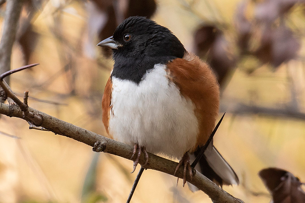 male Eastern Towhee by Deborah Allen at Willow Rock (Central Park), Saturday October 26, 2019