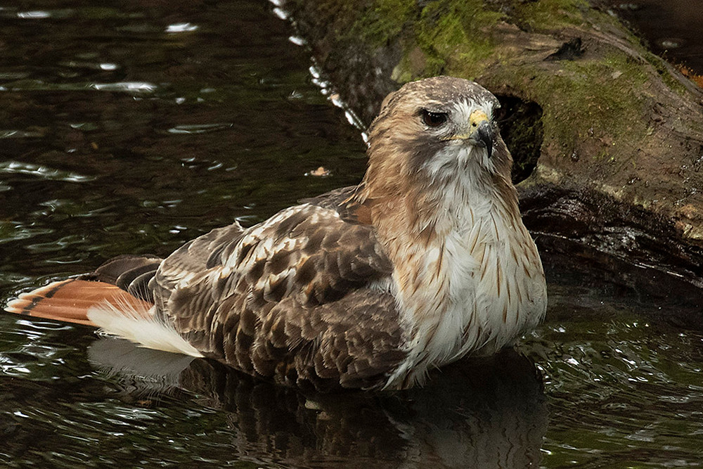 adult Red-tailed Hawk by Deborah Allen bathing in the Gill (Ramble, Central Park), Sunday October 13, 2019