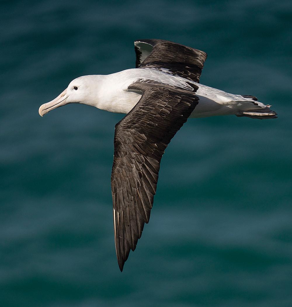 Northern Royal Albatross on 22 November 2019 at Kaikoura Bay (South Island, New Zealand)