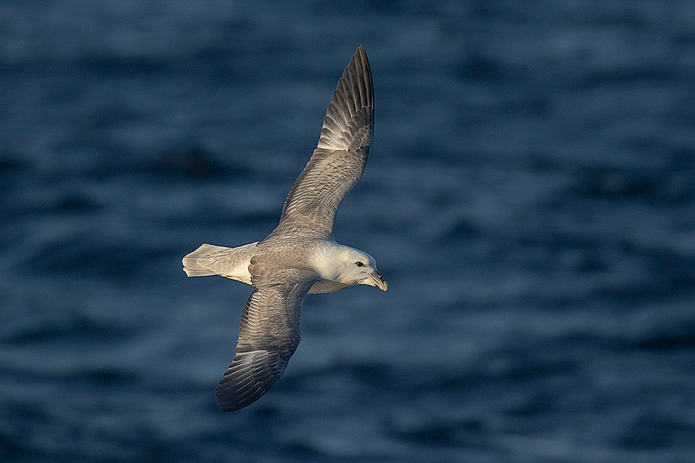 Northern Fulmar by Deborah Allen on 22 Sep 2019 on a Pelagic Birding Trip off of Long Island, NY