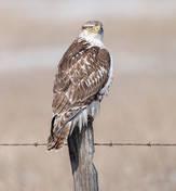 Ferruginous Hawk (first-winter)
