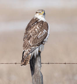 Ferruginous Hawk (first-winter)