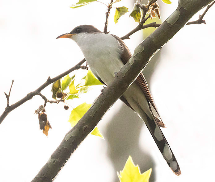 Yellow-billed Cuckoo on 11 May 2019 by Deborah Allen (Central Park)