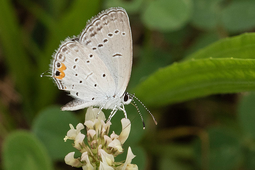 Eastern Tailed-blue Butterfly by Deborah Allen on 23 August 2019 at Pelham Bay Park in the Bronx