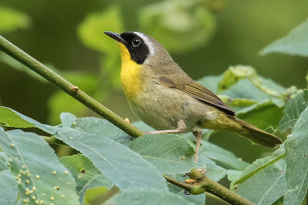 male Common Yellowthroat by Deborah Allen in Central Park, September 2018