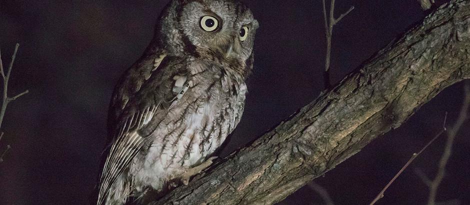 Eastern Screech-Owls at Night and Christmas Birds by Day: More Manhattan Bird Walks
