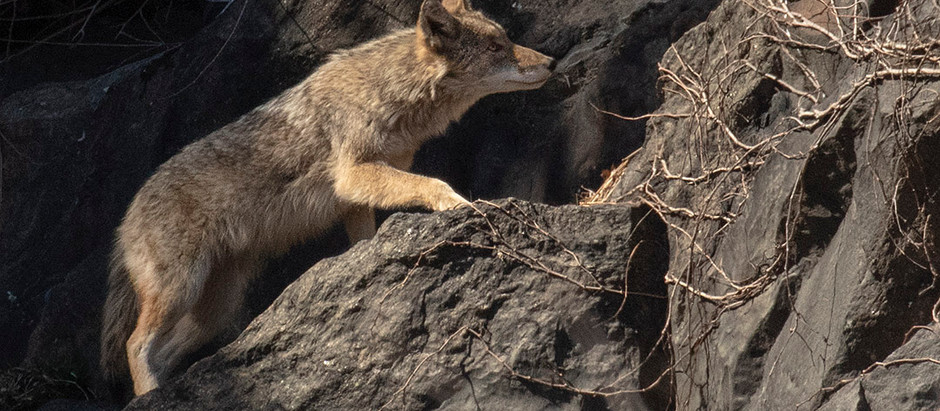 COYOTE! A brief NYC History of a Large Urban Predator 1994-2019