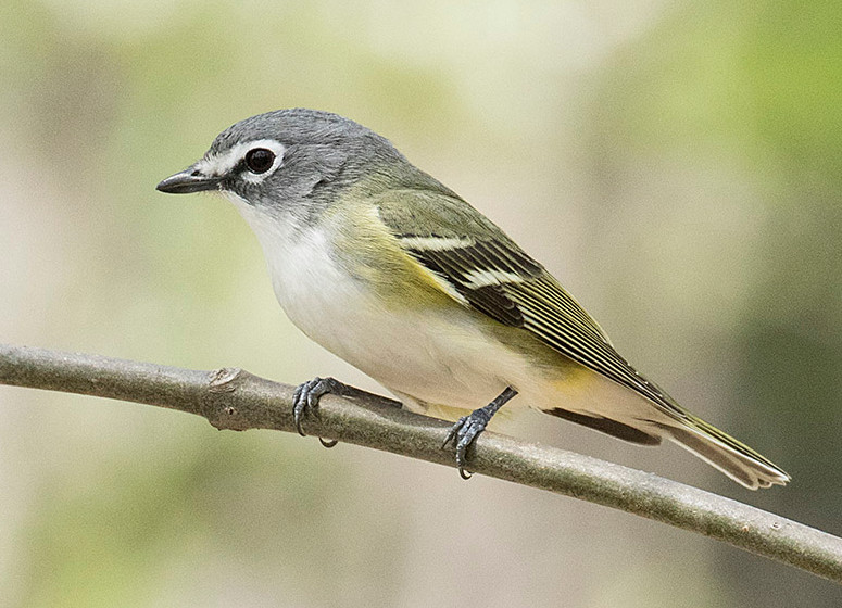 Blue-headed Vireo on 2 May 2018 in Central Park