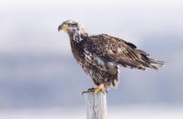 Bald Eagle (perhaps second-third winter)