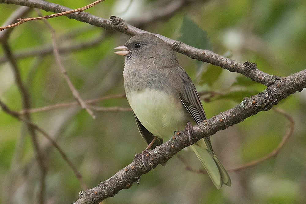 first fall male Dark-eyed Junco by Deborah Allen on 13 October 2019 perched on a tree on the Great Lawn (Central Park)
