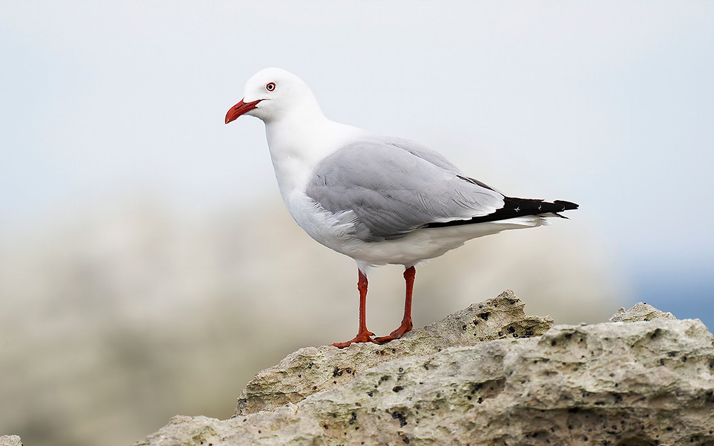 Red-billed Gull at Kaikoura (South Island) on 21 November 2019