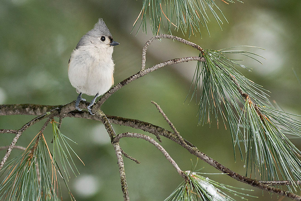 Tufted Titmouse by Deborah Allen 11 January 2009 in Central Park