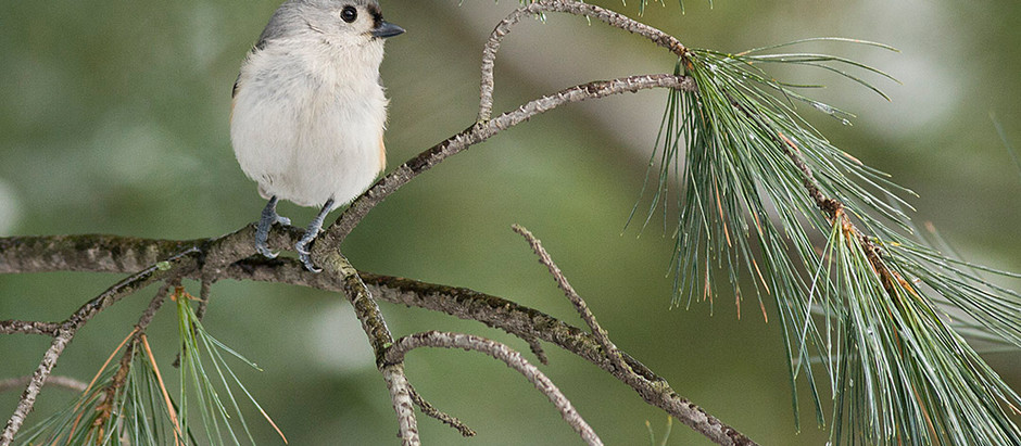 The Amazing, yet common, Tufted Titmouse in NYC 1880-2018