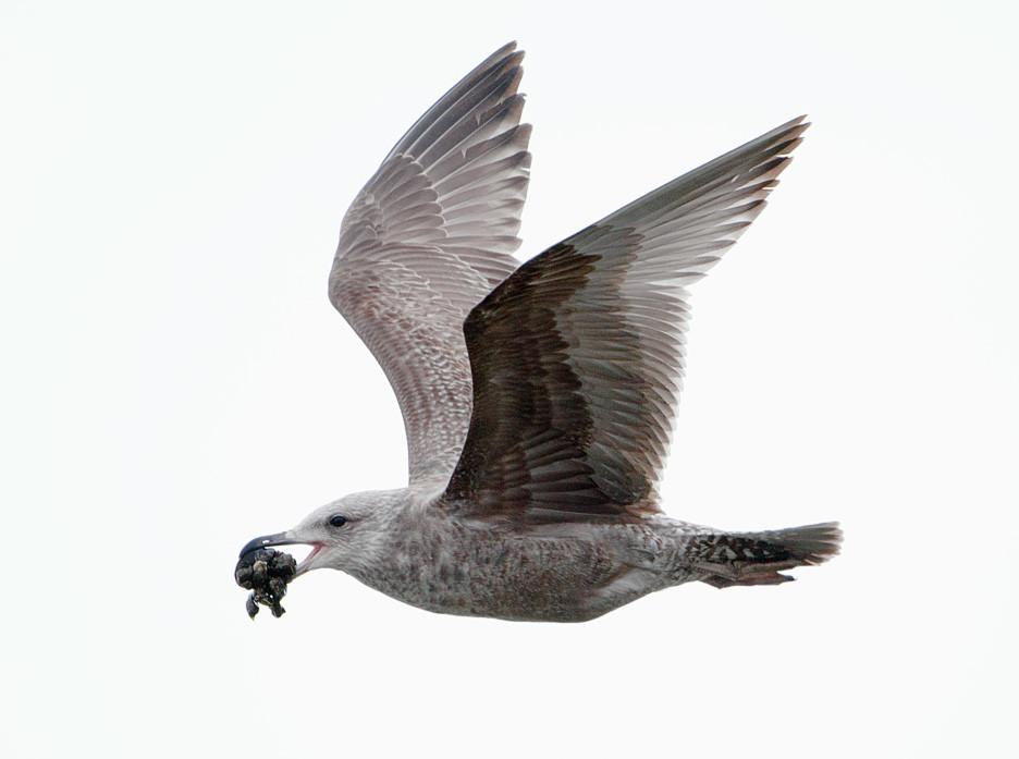 juvenile Herring Gull on 14 October 2015 at Pelham Bay Park