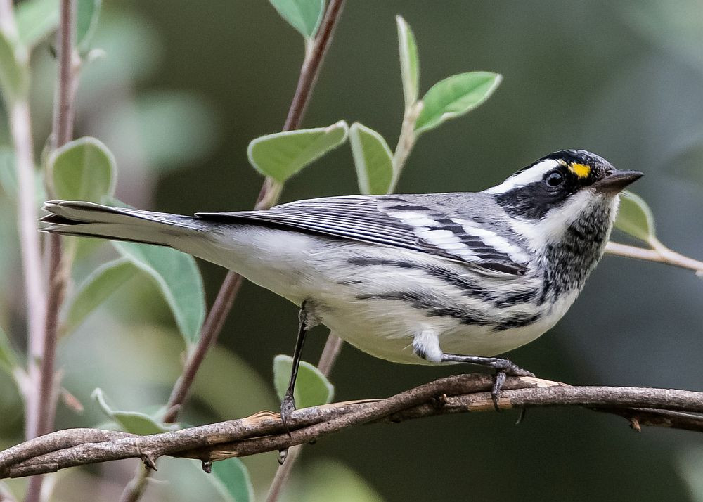 Black-throated Gray Warbler by George Dondero in September 2019 in California