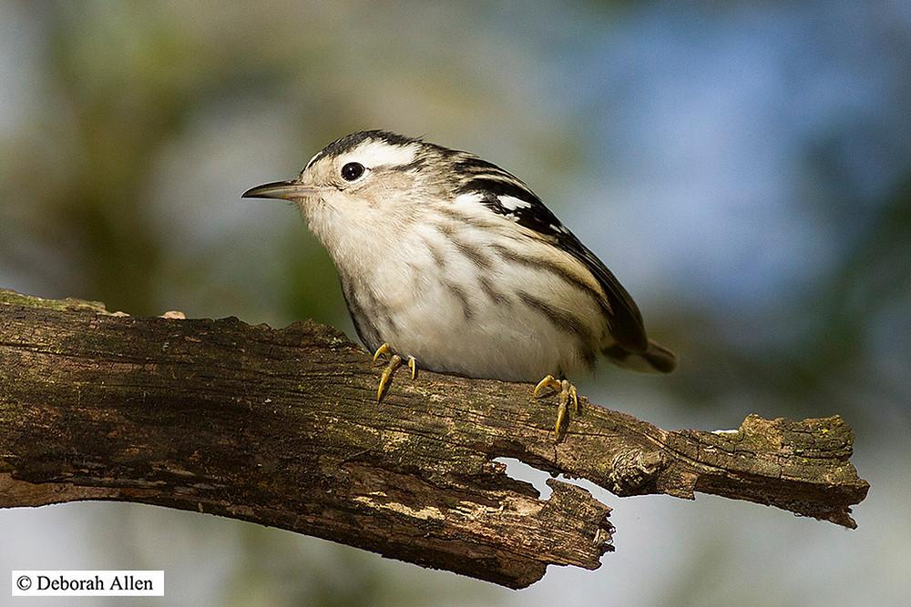 Black-and-white Warbler - 14 September 2013