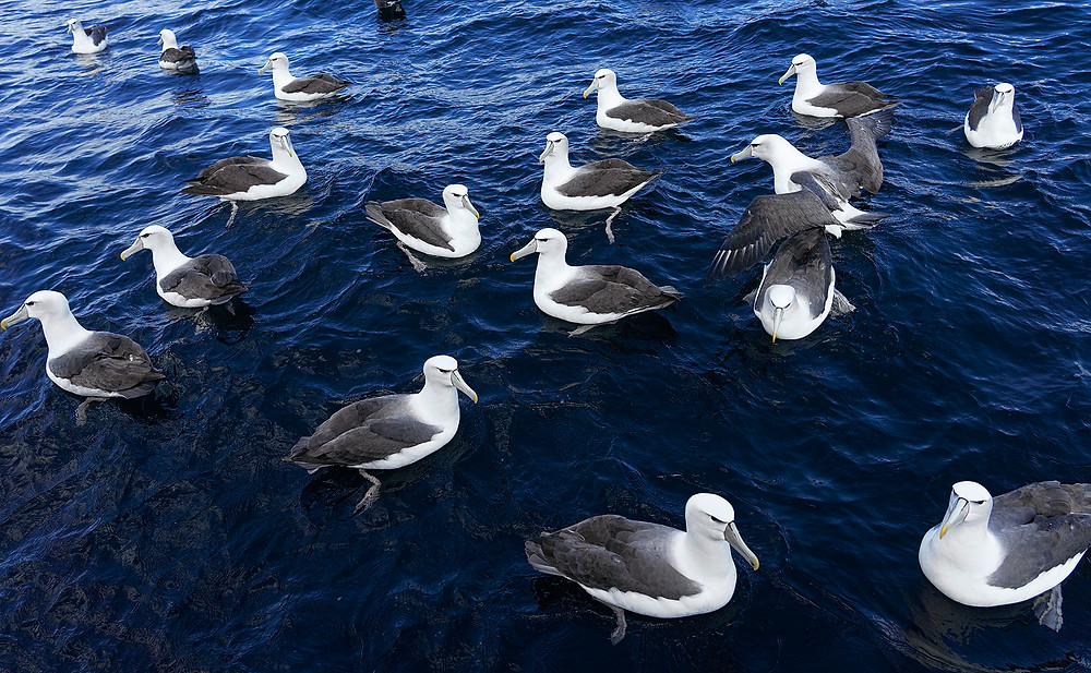 Lots of White-capped Albatrosses (Stewart Island, NZ) on 29 November 2019