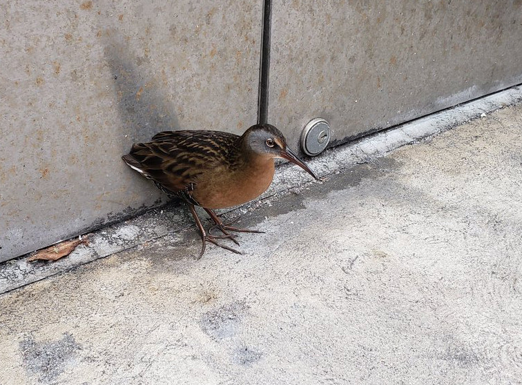 Virginia Rail found/photographed by Lucy McLeod on 53rd street and Madison Ave (Manhattan), Sunday 20 October 2019