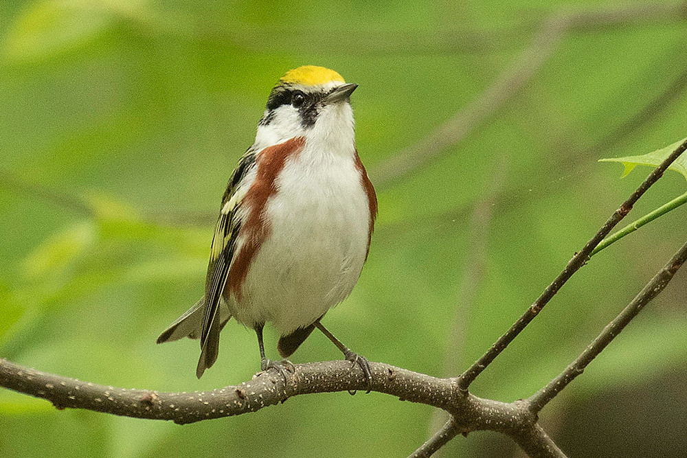 Chestnut-sided Warbler by Deborah Allen in the Ramble on 11 May 2019