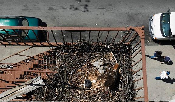 Nesting Red-tailed Hawks in the Bronx in 2010 by Deborah Allen