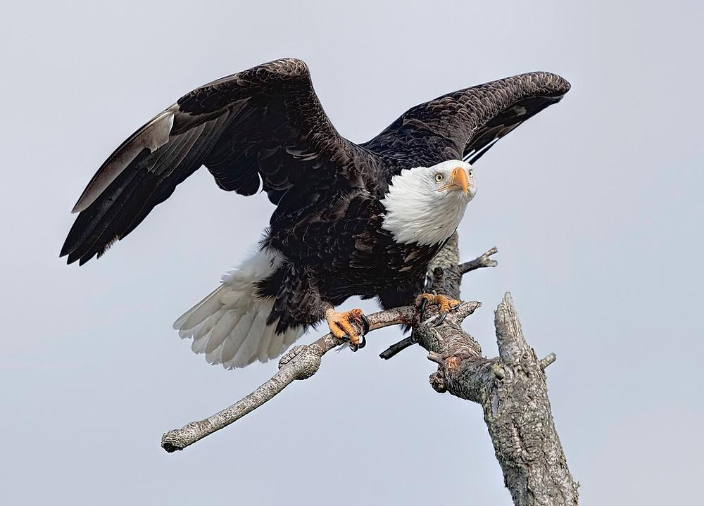 Bald Eagle in Blaine, Washington state, on 29 February 2016