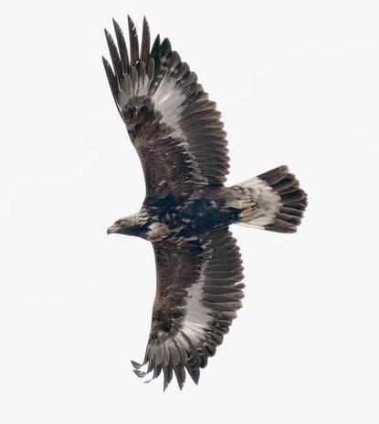 Golden Eagle (perhaps 2nd winter)