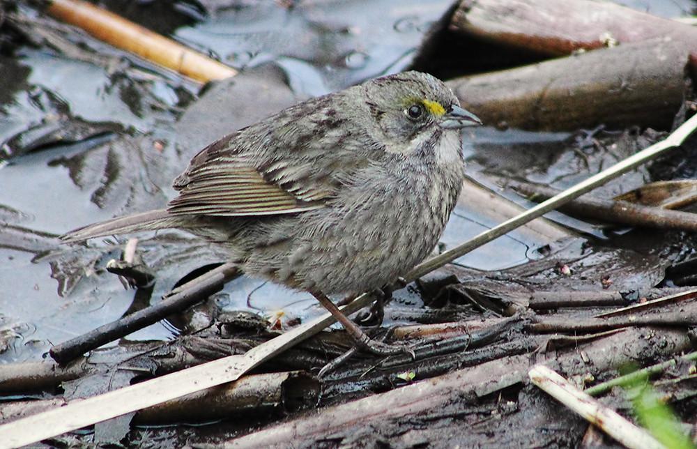 Seaside Sparrow copyright Linda Yuen 2018