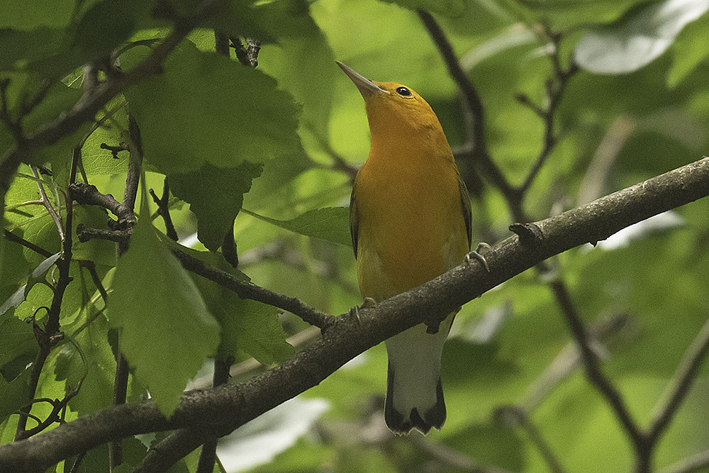 Male Prothonotary Warbler, 59th St. Pond, Central Park, Saturday August 17, 2019 by Deborah Allen