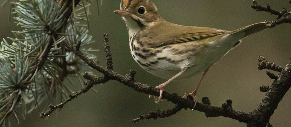 Warblers Calling: Final Days of August - ROLLING THUNDER BIRD WALKS