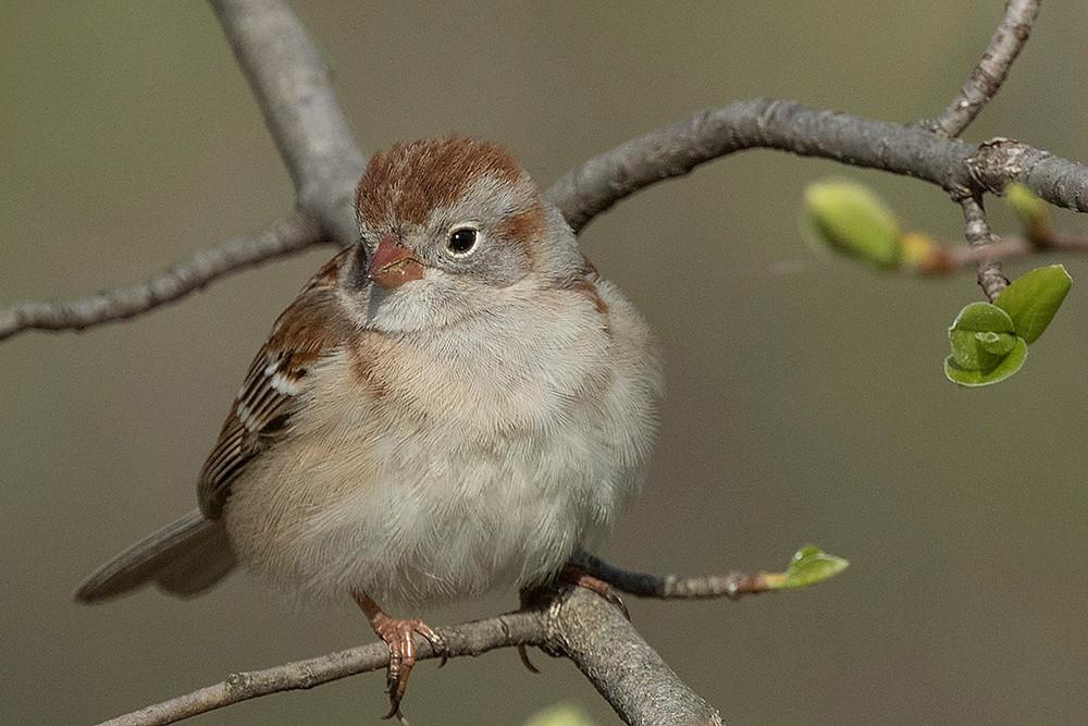 Field Sparrow in Central Park by Deborah Allen on 24 April 2016