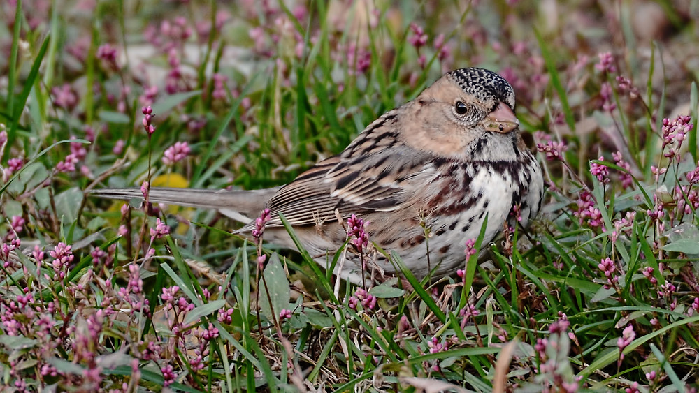 Harris's Sparrow by Ben Taylor photographed 4 Nov 2018 in Central Park