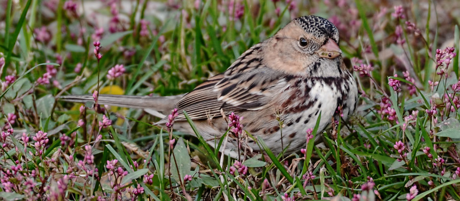 Harris's Sparrow in Central Park: DISCOVERY - First Confirmed Record
