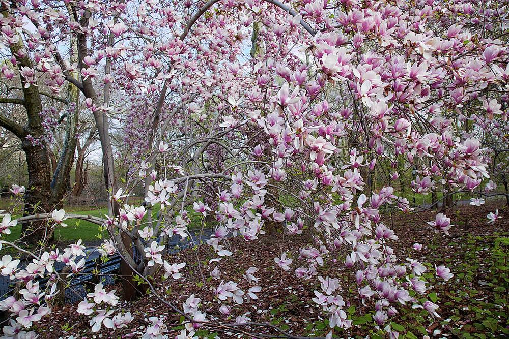 Magnolia in bloom on 24 April 2015 in Central Park