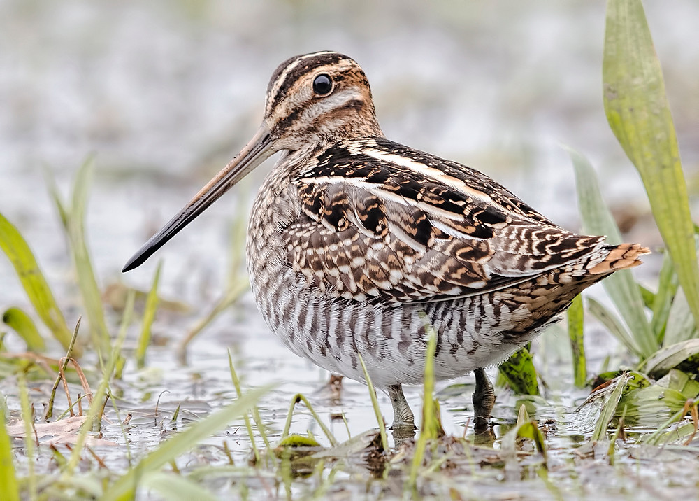 Wilson's Snipe in Pelham Bay Park in the Bronx, 1 November 2017