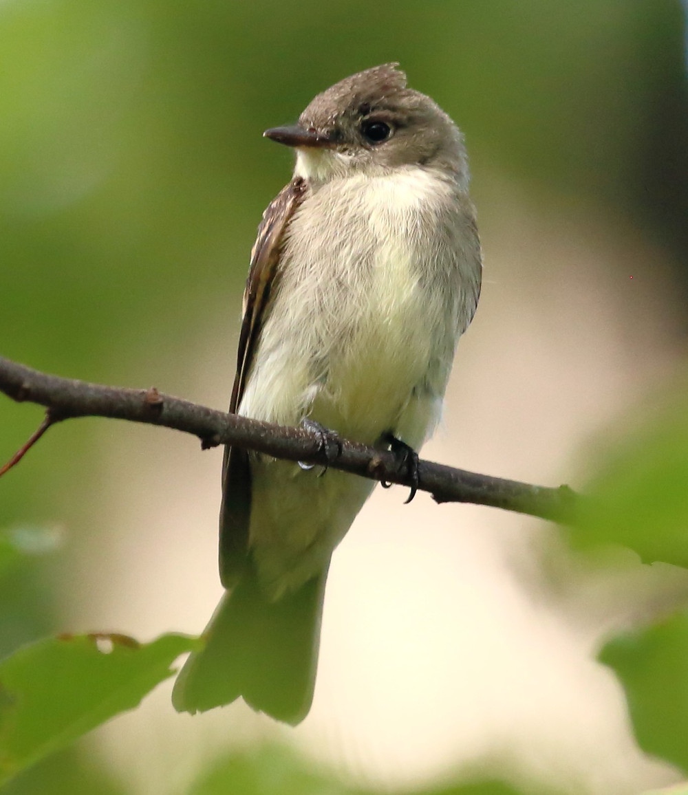 Eastern Phoebe by Rachel Berardinelli from our bird walk on Sunday, 15 September - near Bow Bridge, Ramble (Central Park)