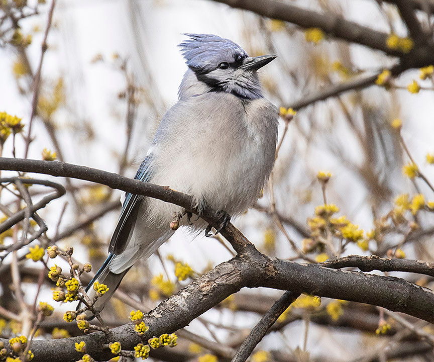 Blue Jay in Central Park on 17 March 2019 by Deborah Allenwhere they may still nest on 27 June 2008