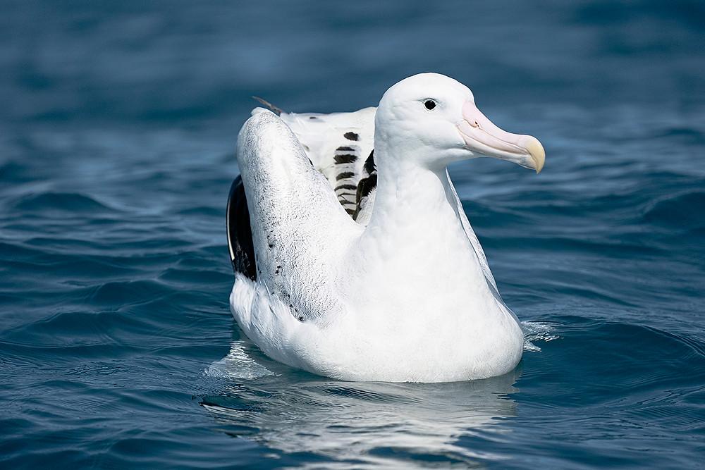 [Gibson's] Wandering Albatross at Kaikoura Bay (South Island [East Coast] New Zealand) on Friday, 22 November 2019