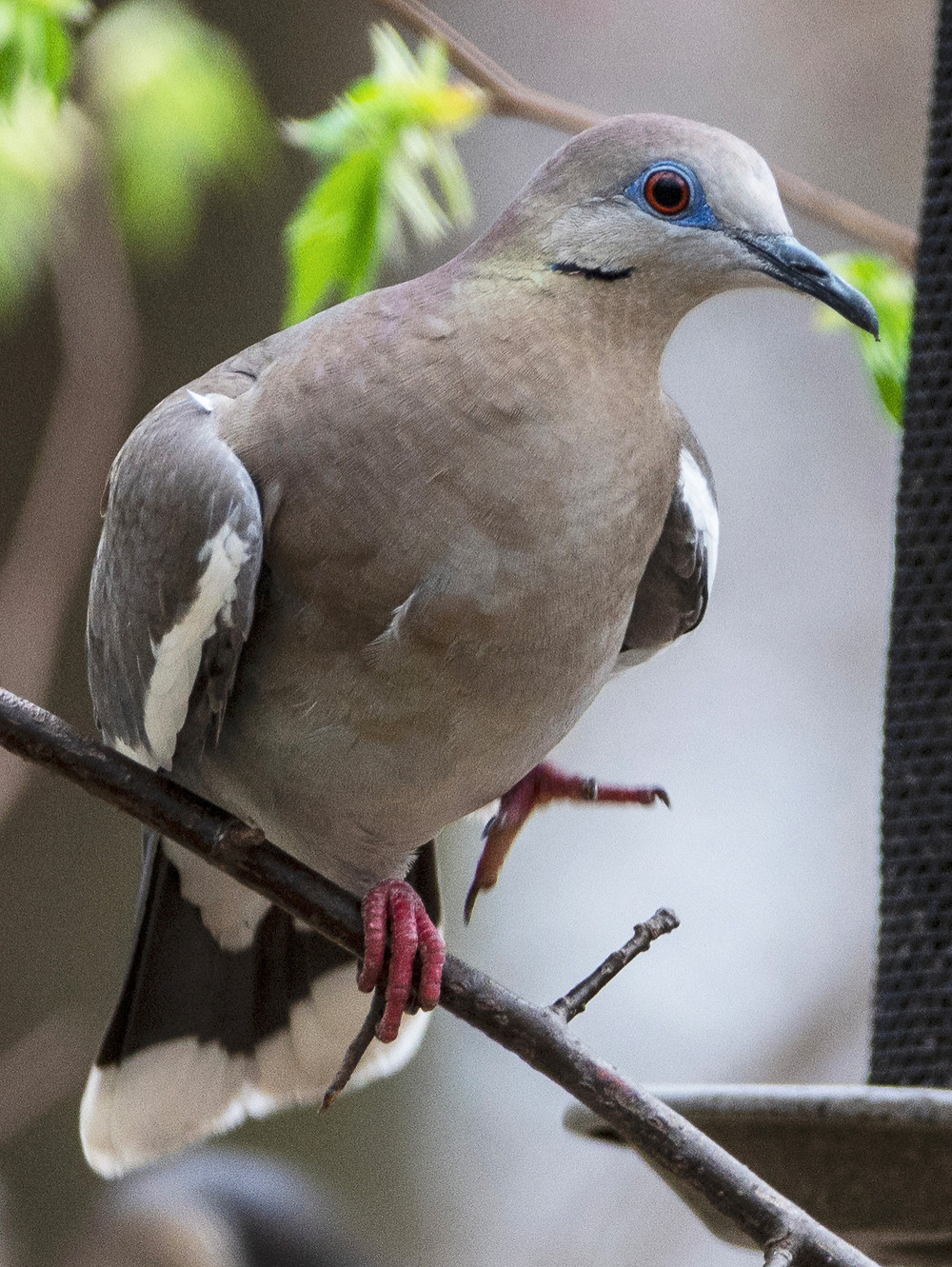 White-winged Dove on 14 April 2019 by Sandra Critelli - The First Ever Record for the Park