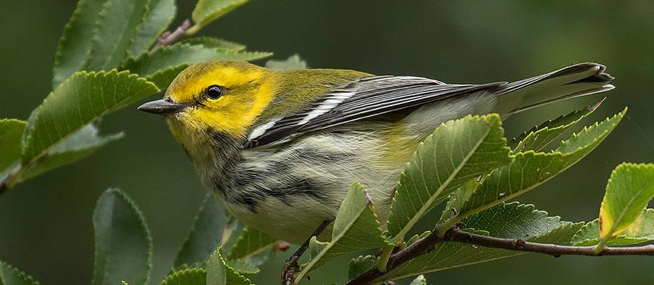 Mega Bird Migration Now Now Now - Central Park October 2021