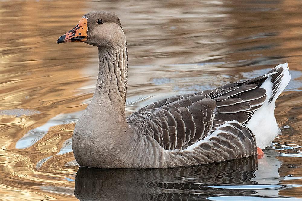 Domestic Goose by Deborah Allen, Central Park (Manhattan), 24 January 2020