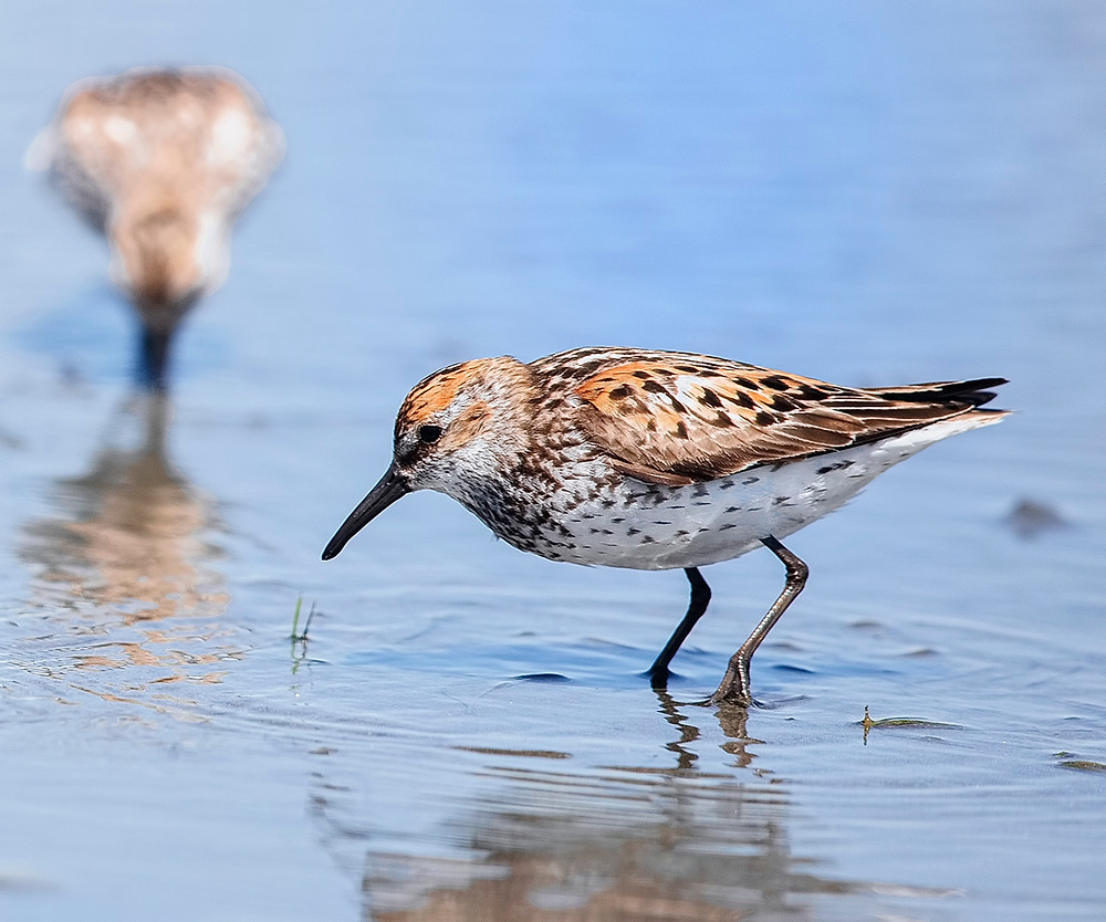 Western Sandpiper on southbound migration in July 2016 near Westport, Washington State