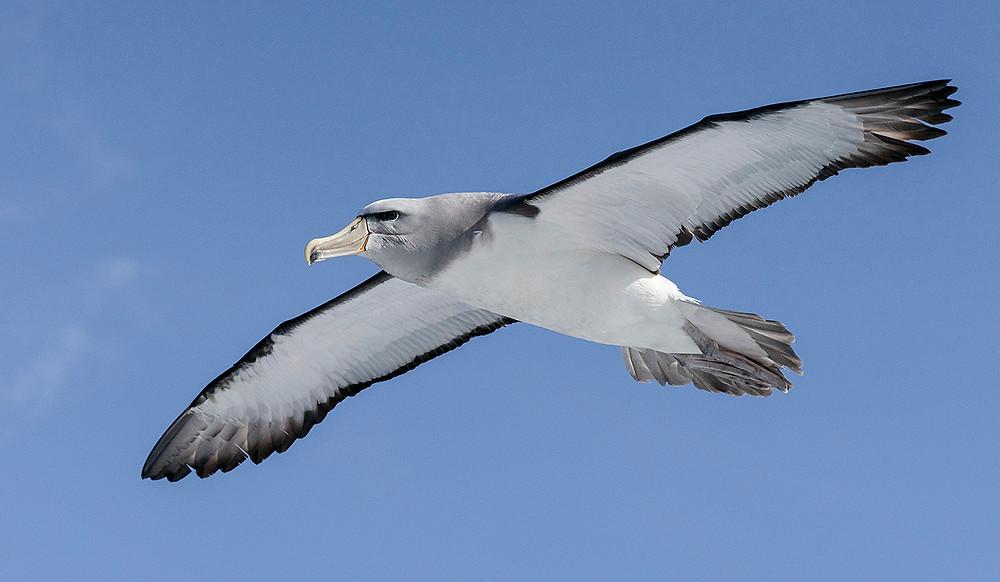 Salvin's Albatross near Stewart Island (southern New Zealand) on Friday, 29 November 2019