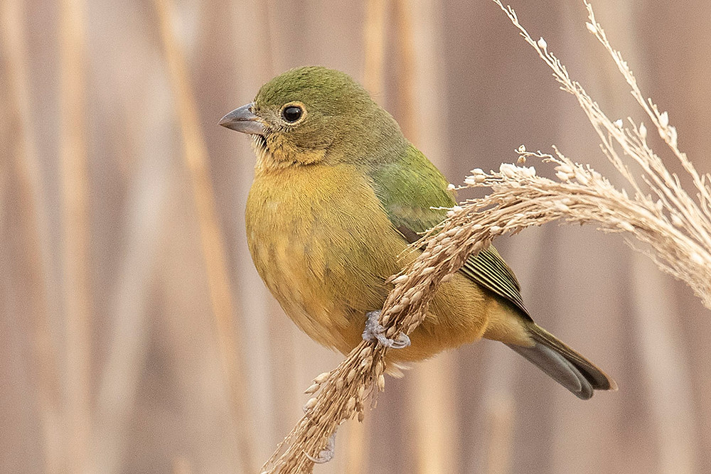 First-winter Painted Bunting by Deborah Allen, at Jones Beach State Park (Long Island), Thursday January 2, 2020