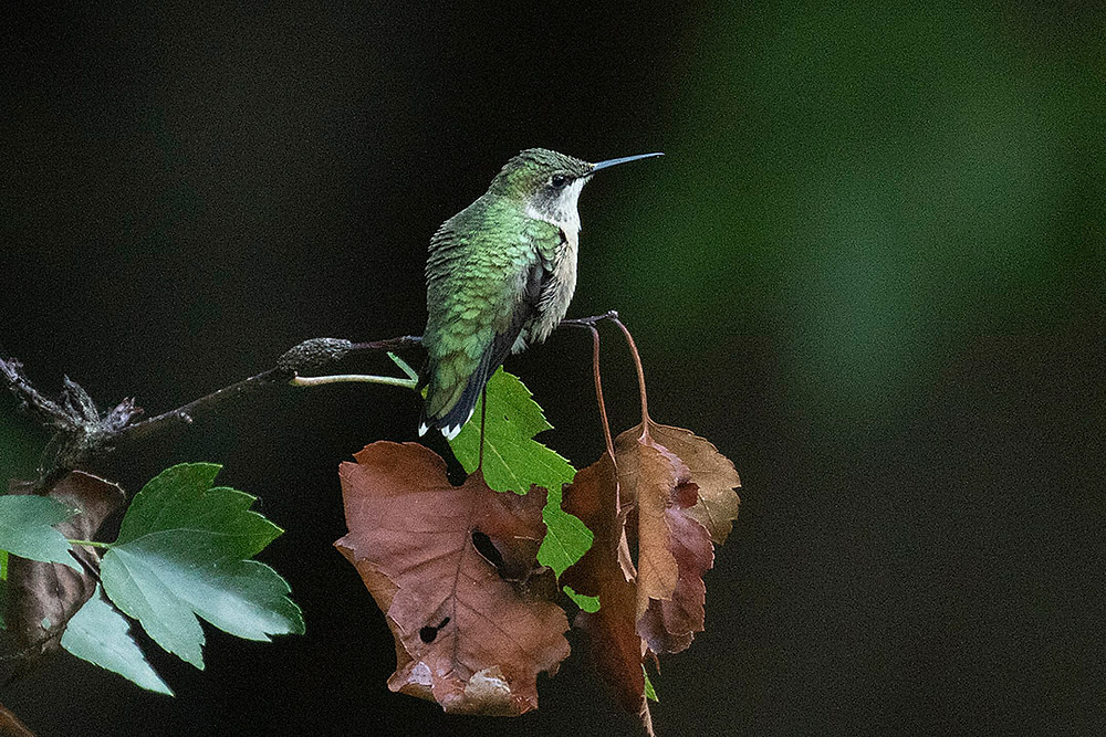 female Ruby-throated Hummingbird by Deborah Allen at The Oven, Saturday, September 21, 2019