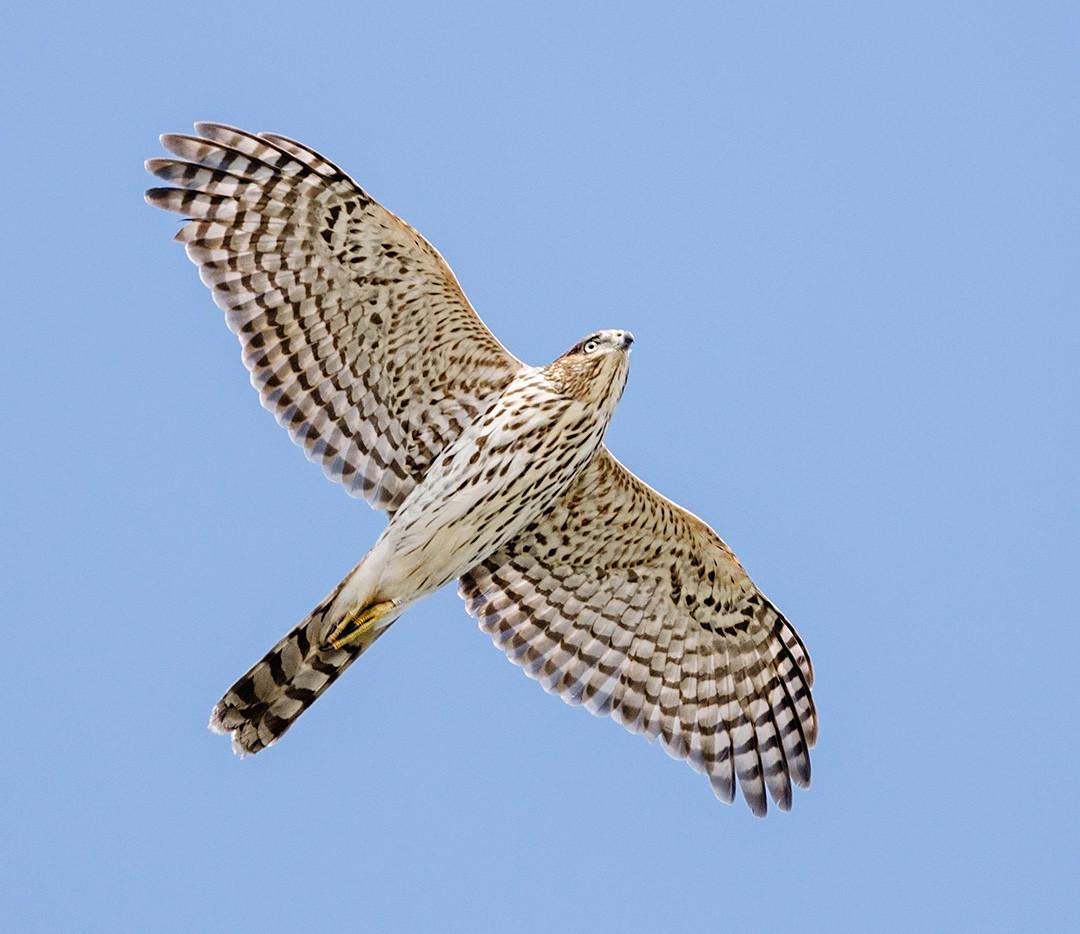 Cooper's Hawk (hatch-year)