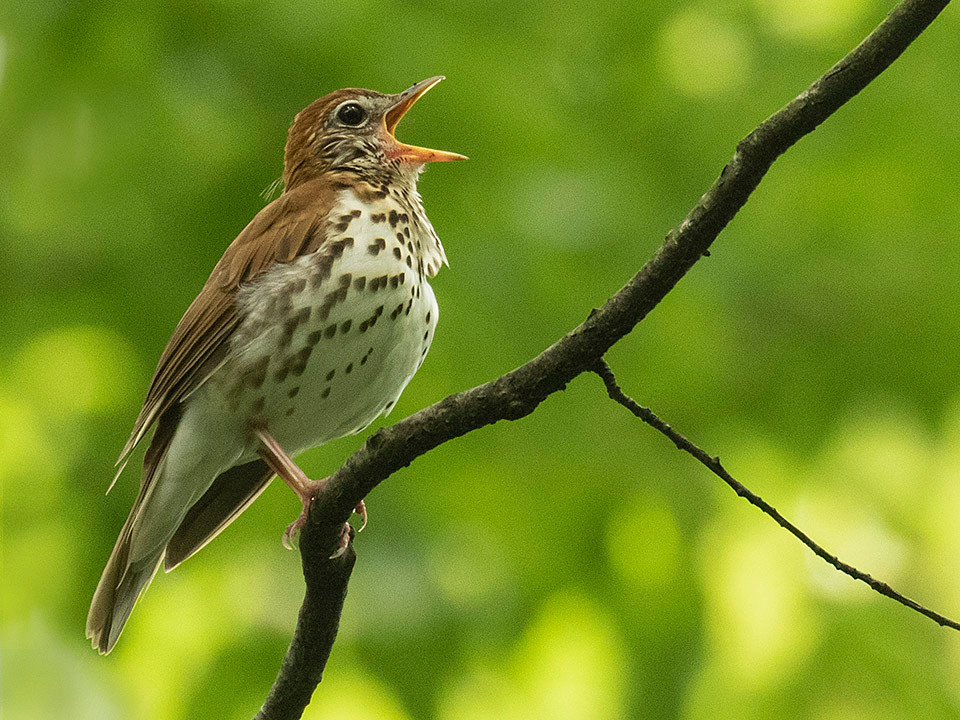 male Wood Thrush by Deborah Allen singing in the Evodia Field (Ramble) on 30 May 2019