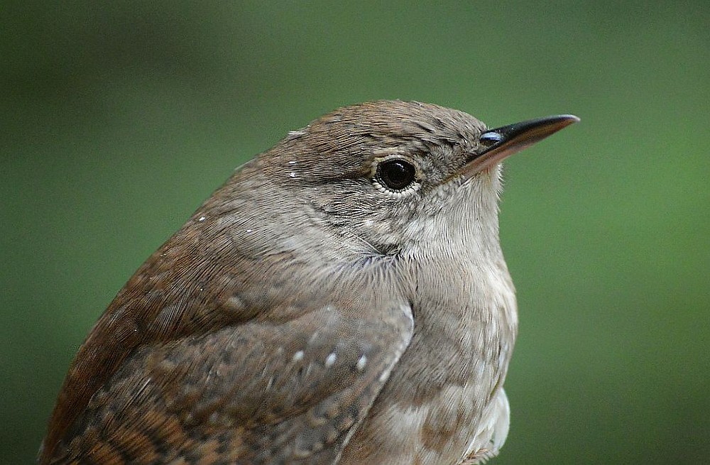 House Wren by Doug Leffler