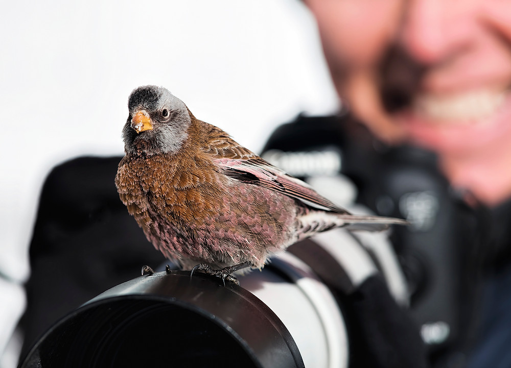 Grey-crowned Rosy-finch (male) at Alta, Utah on 30 Jan 2018