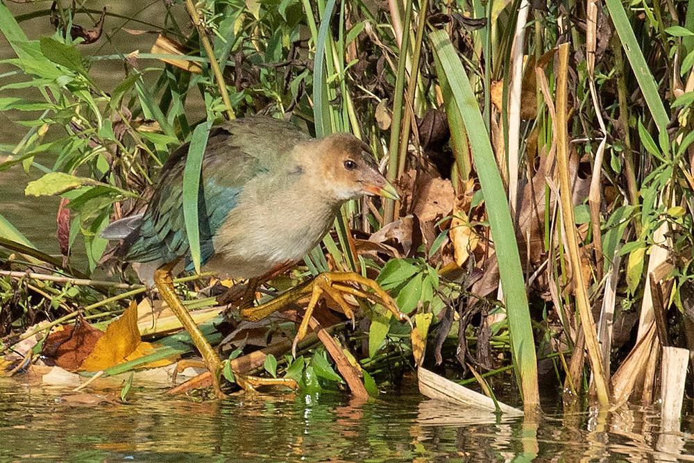 Juvenile Purple Gallinule by Deborah Allen at Turtle Pond (Central Park), 2 November 2019