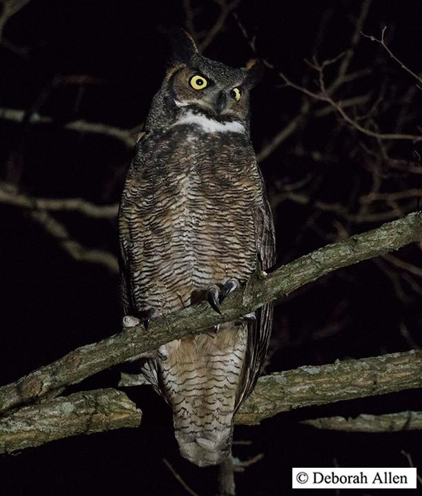 Great Horned Owl at Van Cortlandt Park (Bronx), 30 Dec 2017